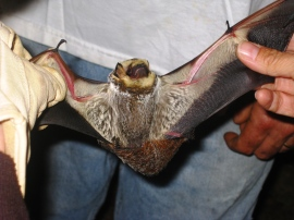 A hoary bat captured during the Alabama Bat Working Group's Mini-bat Blitz in 2010.